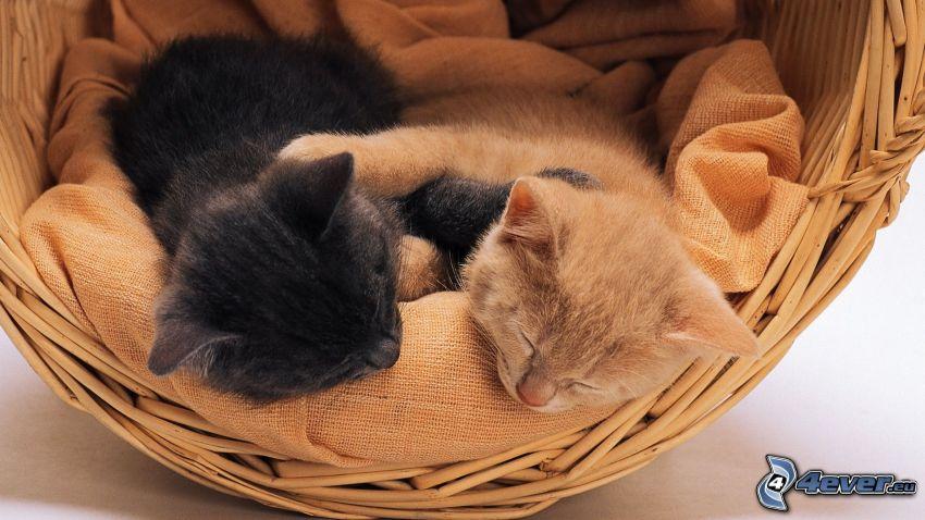 schlafende Kätzchen, Katzen im Korb