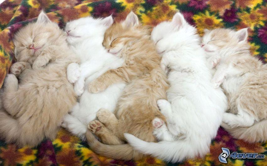 schlafende Kätzchen