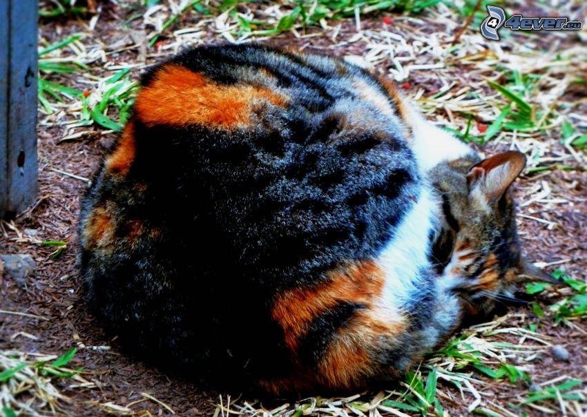 schlafende Katze, gescheckte Katze