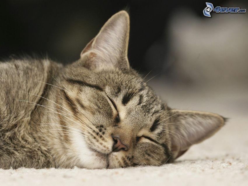 Schlafendes Kätzchen, braune Kätzchen
