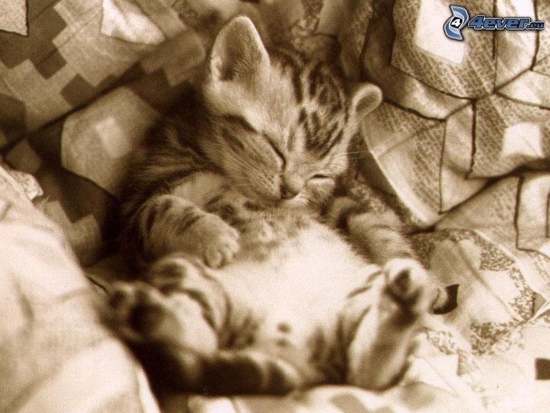 Schlafendes Kätzchen, Kissen, Schlafen