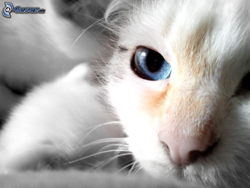 Schnauze, kleines weißes Kätzchen, blau auge