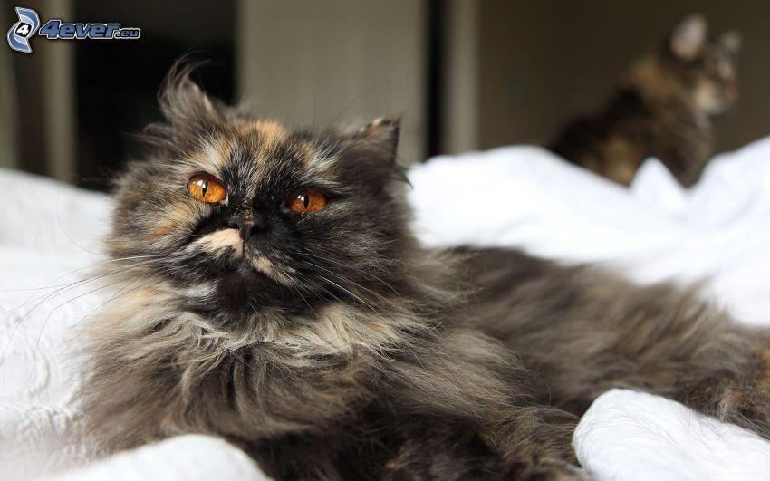 schwarze Katze, haarige Katze