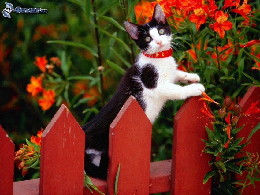schwarzweiße Katze, Zaun, roten Blumen
