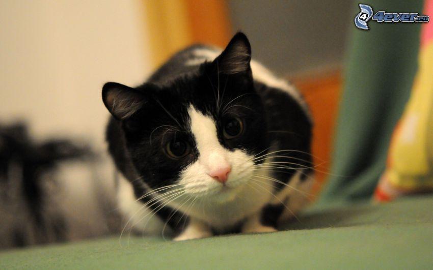 schwarzweiße Katze