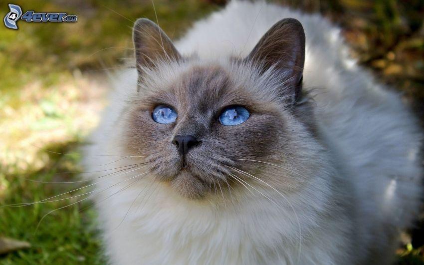 Siamkatze, blaue Augen