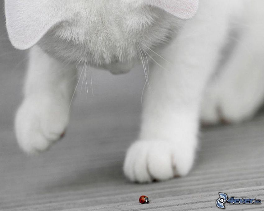 weiße Katze, Marienkäfer