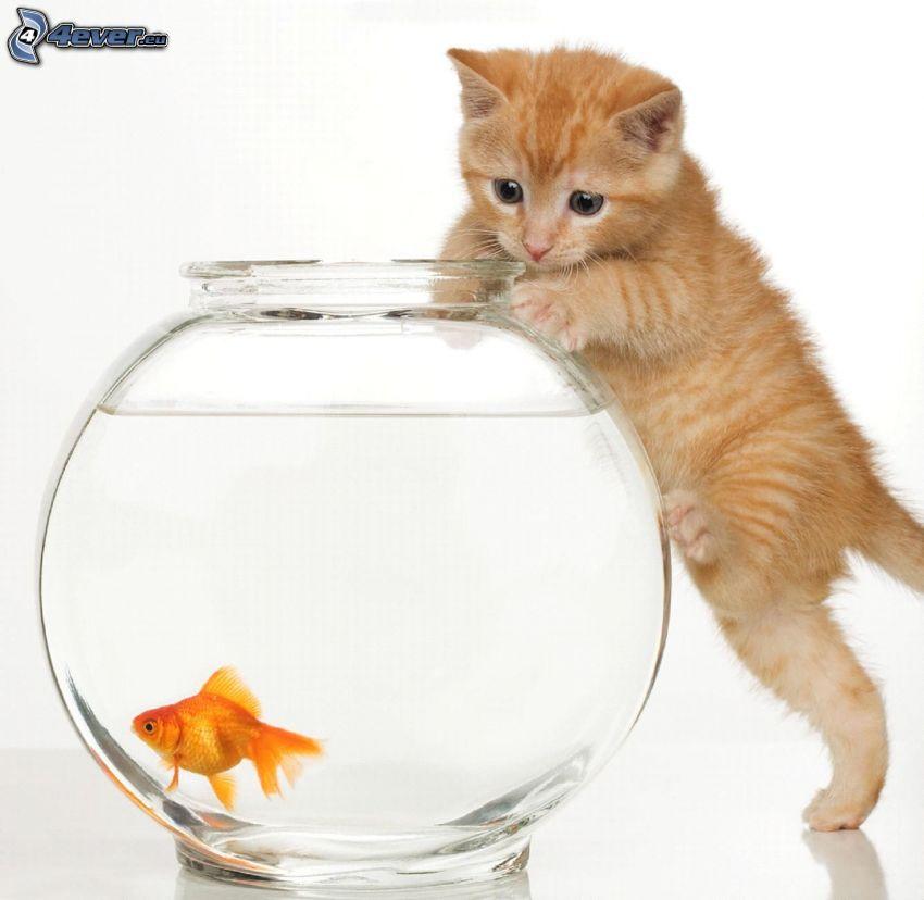 kleine rothaarige junge Katze, Goldfisch, Aquarium