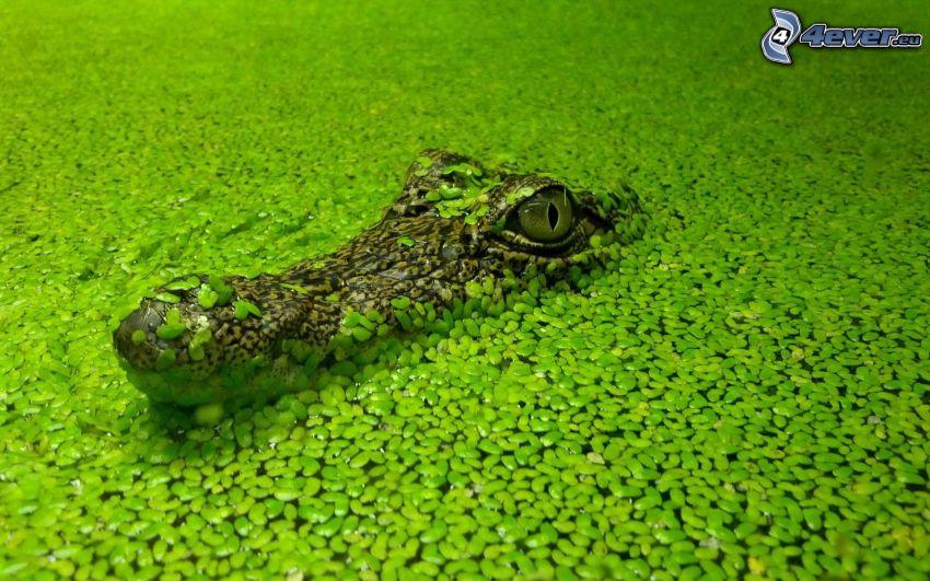 Krokodil, grünes Wasser