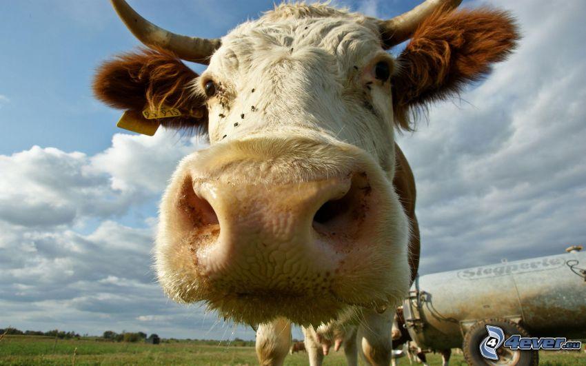 Kuh, Schnauze