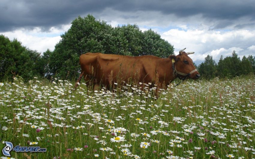 Kuh, Wiese, Gänseblümchen