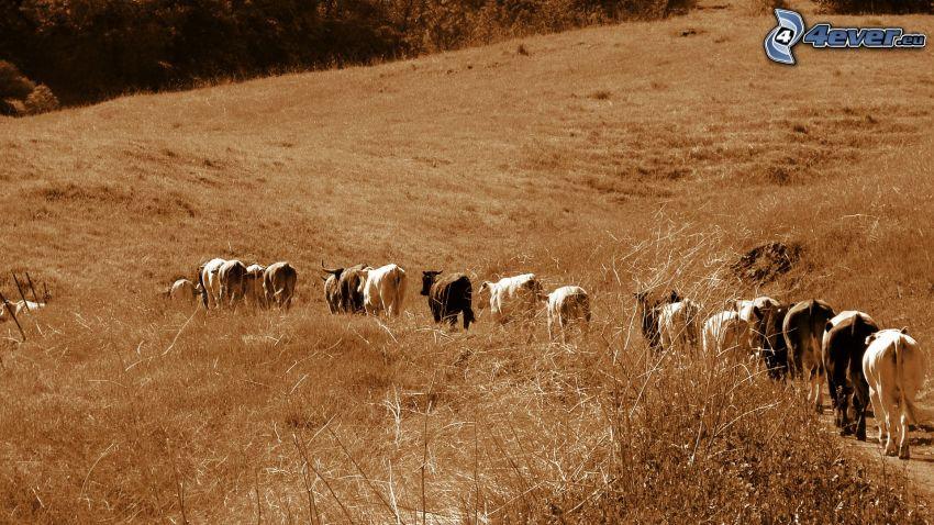 Kühe, Feld, Wiese