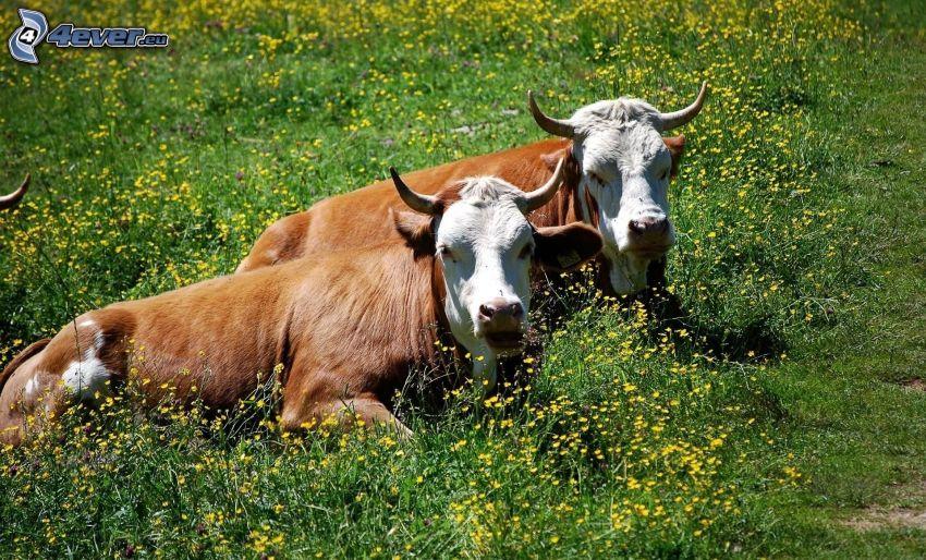Kühe, Wiese, gelbe Blumen