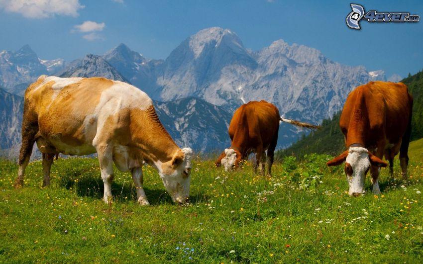 Kühe, Wiese, Gras, Berge