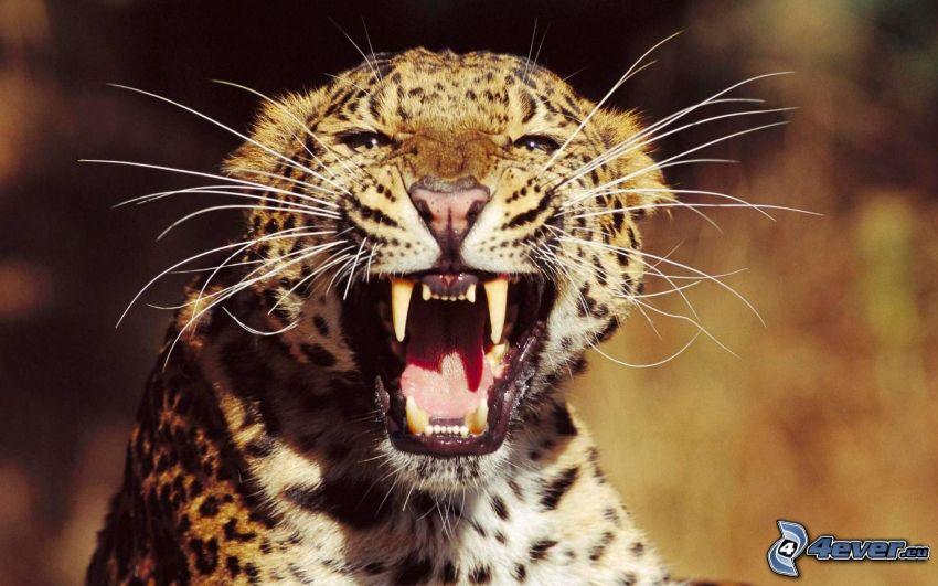 Leopard, Fangzähne