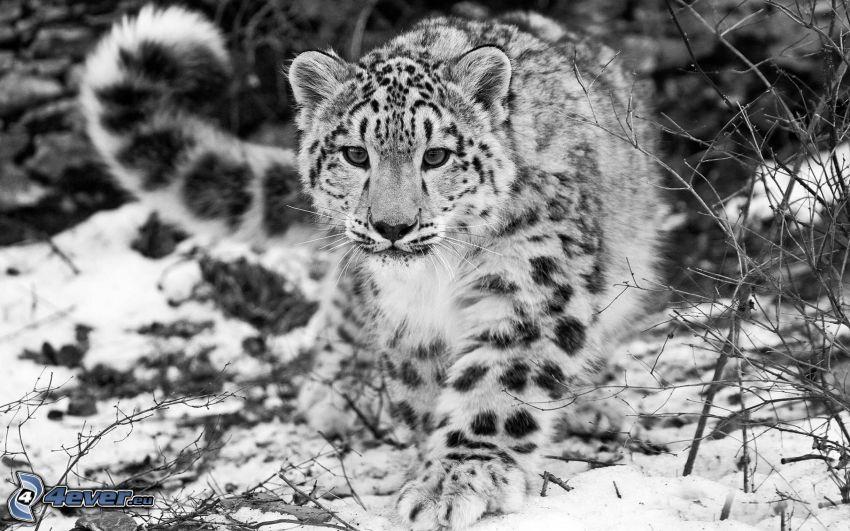 Leopard, Schnee, schwarzweiß