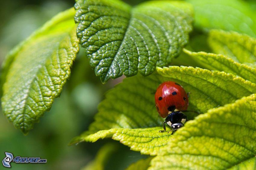Marienkäfer auf einem Blatt, Blätter