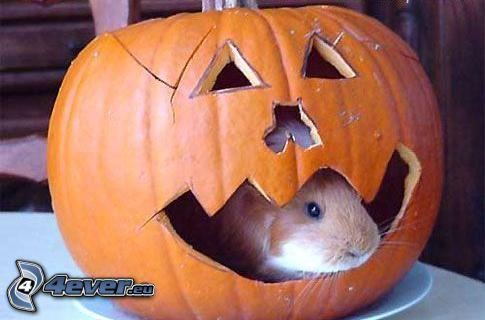 meerschwein, Halloween-Kürbis