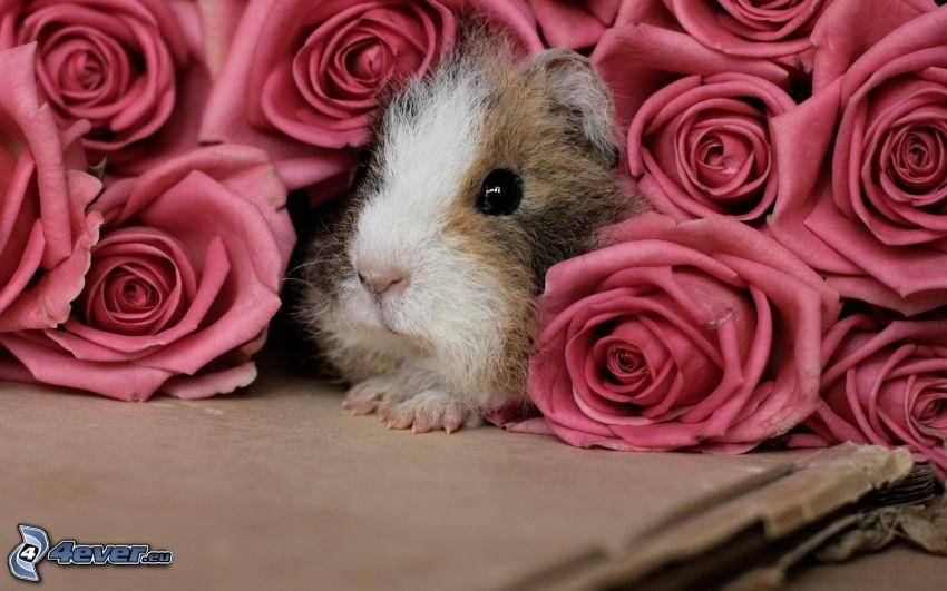 meerschwein, Rosen