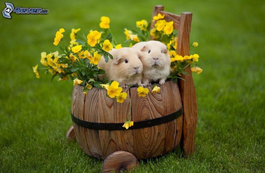 meerschwein, Wagen, Stiefmütterchen, Gras