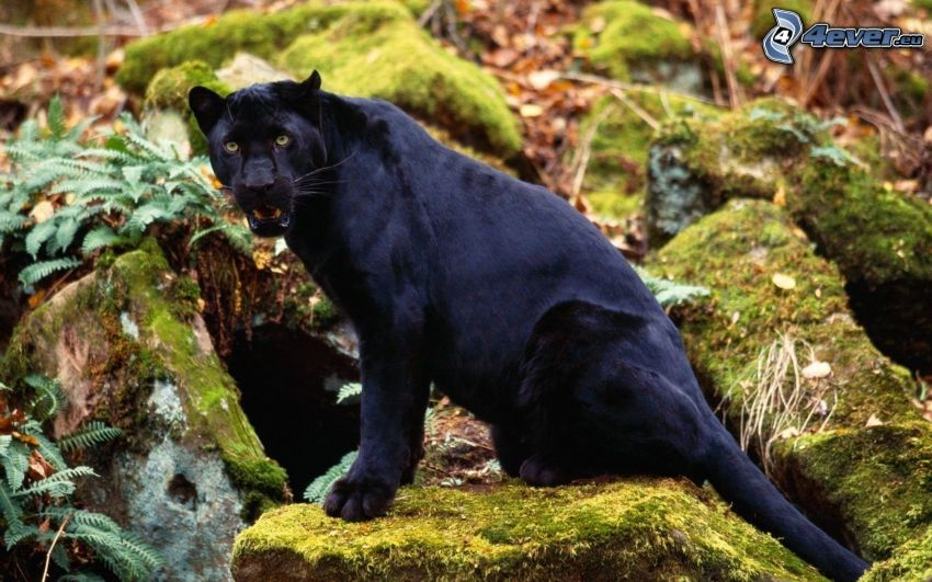Panther, Felsen, Moos