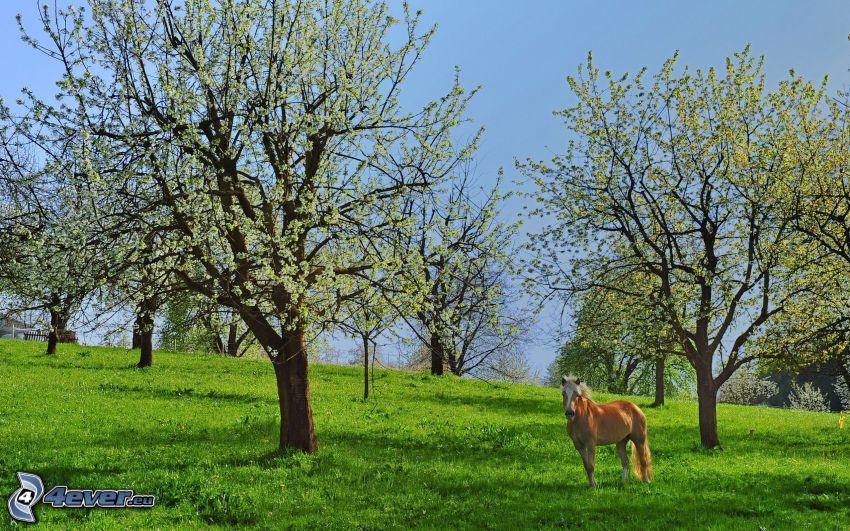 blühenden Bäumen, braunes Pferd