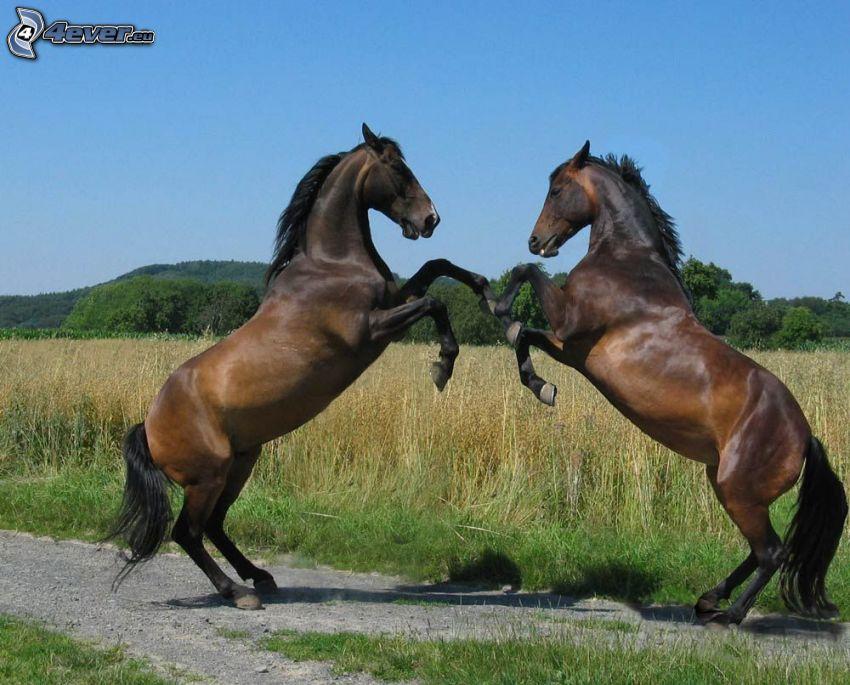 braune Pferde, Kampf