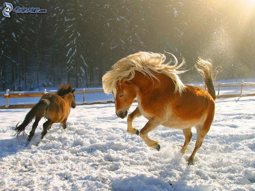 braune Pferde, Schnee, Mähne