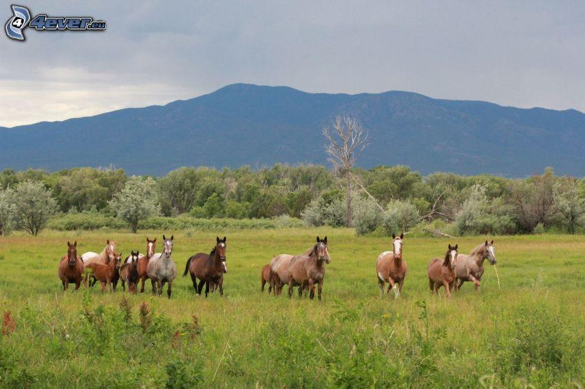 braune Pferde, Wiese, Wald, Berge