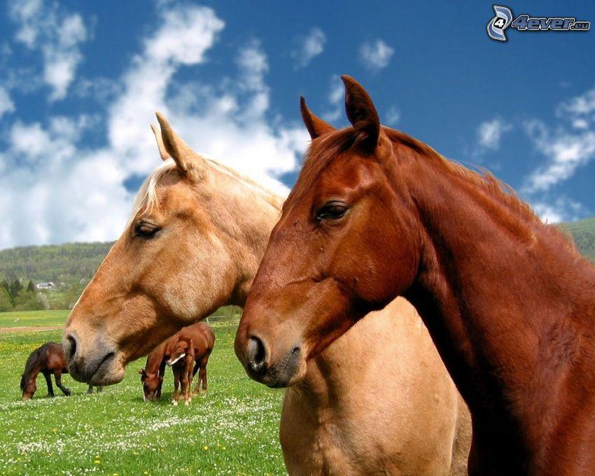 braune Pferde