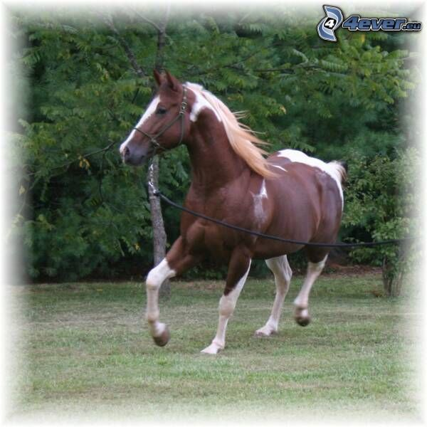 braunes Pferd, Galopp