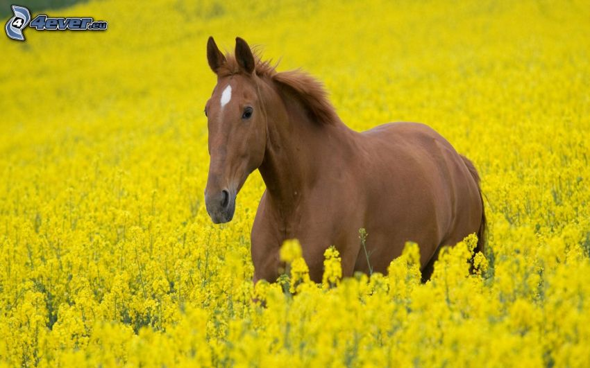 braunes Pferd, gelbe Blumen, Feld
