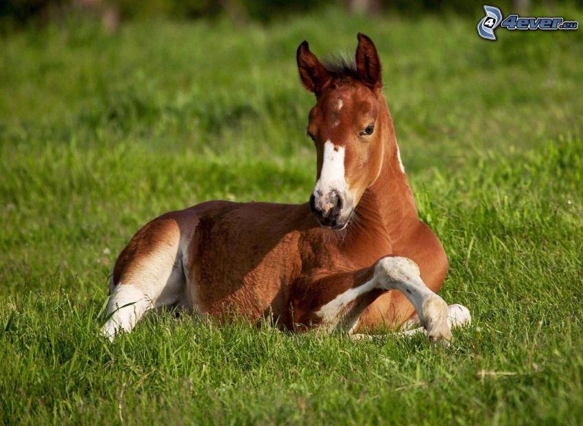 braunes Pferd, Gras
