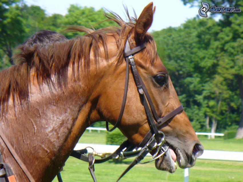 braunes Pferd, Pferdekopf, Pferderennen
