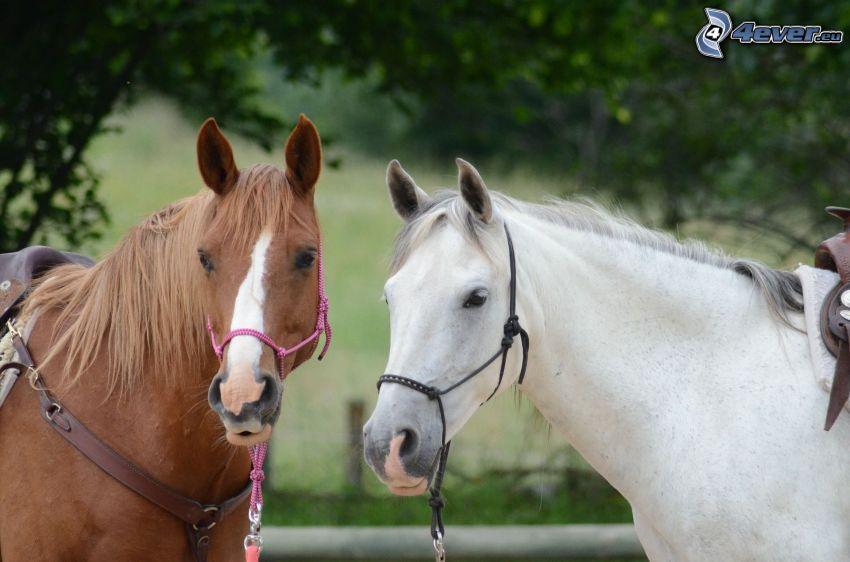braunes Pferd, weißes Pferd
