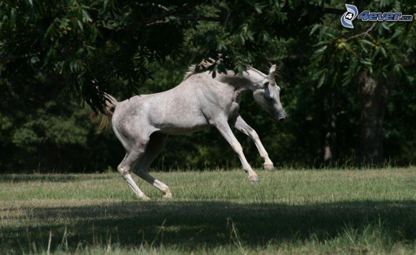 Pferd, Sprung
