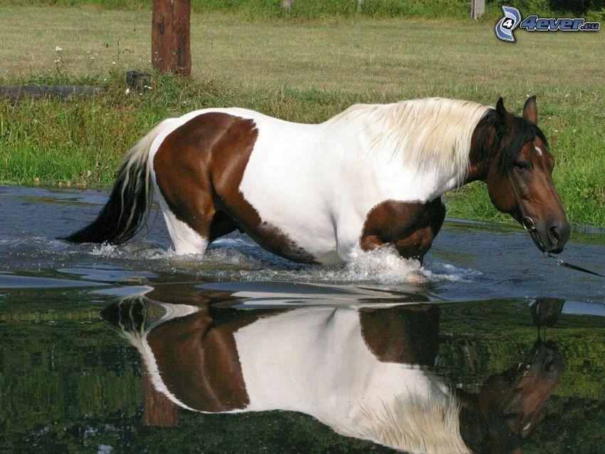 Pferd, Wasser, Spiegelung, Gras