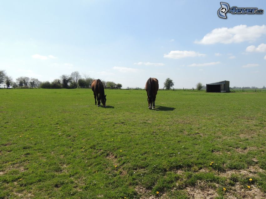 Pferde, Farm, Gras, Löwenzahn