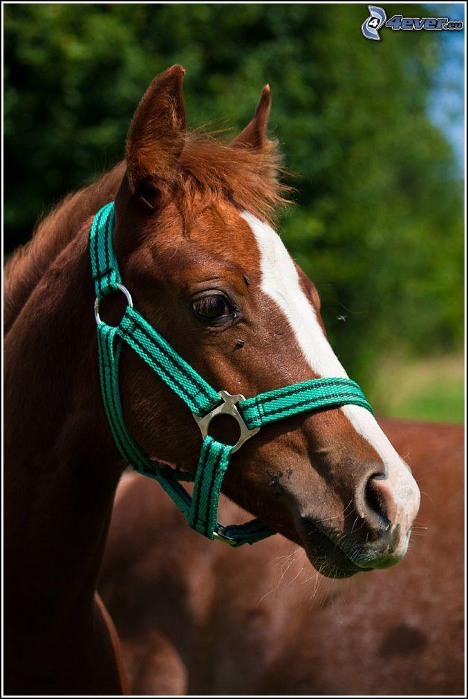 Pferdekopf, braunes Pferd