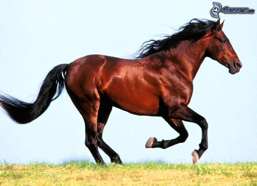 Rennendes Pferd, Natur, Wiese, Gras