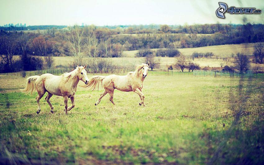 weiße Pferde, Wiese