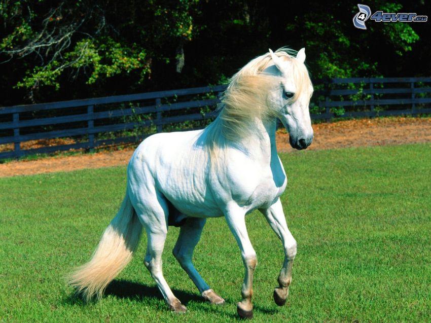 weißes Pferd, Gras, Zaun