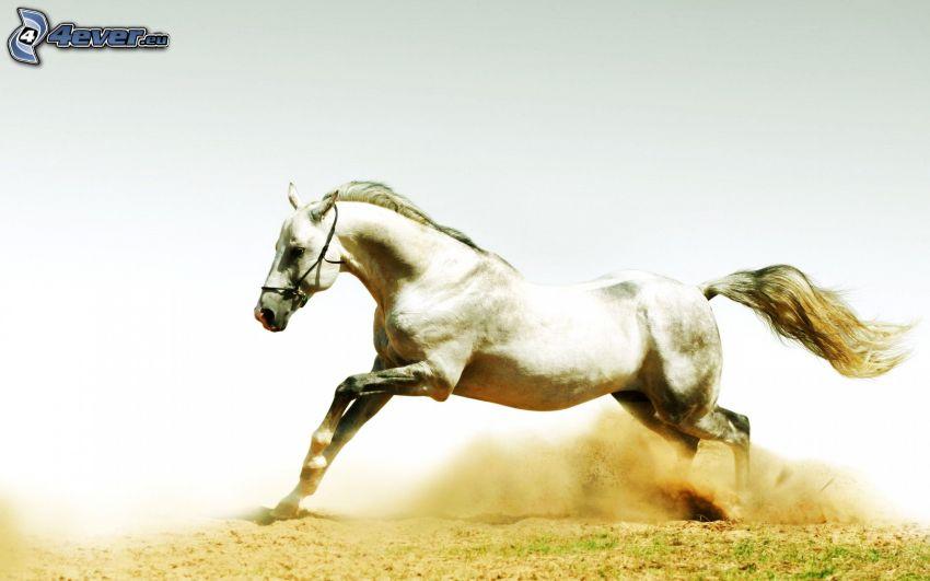 weißes Pferd, Laufen, Staub