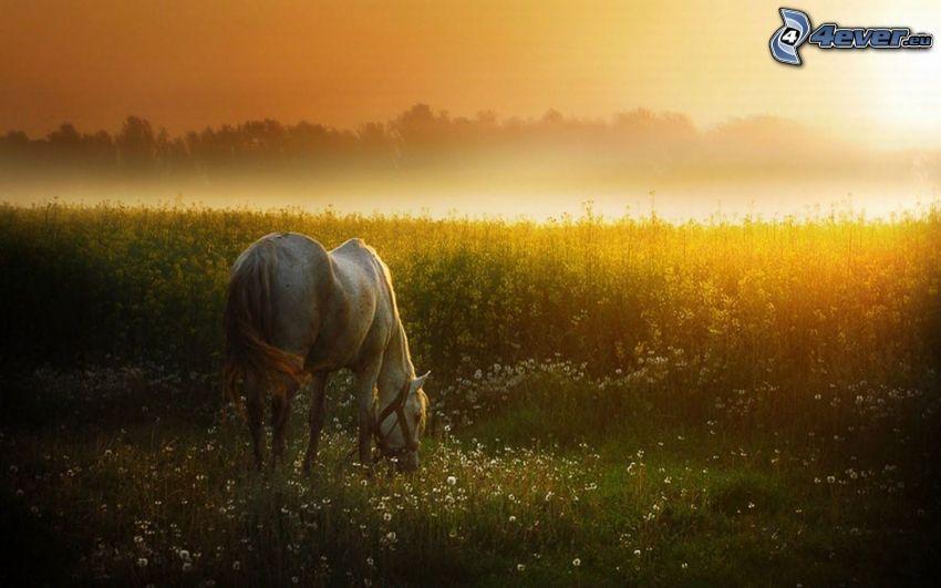weißes Pferd, Sonnenuntergang über dem Feld