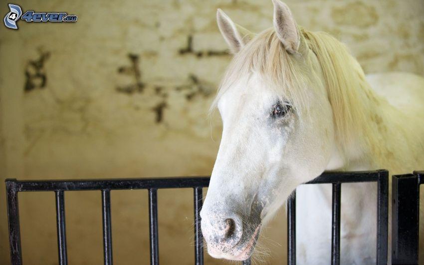 weißes Pferd