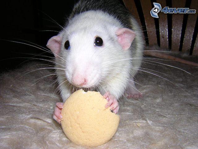 Ratte, Maus, Nagetier