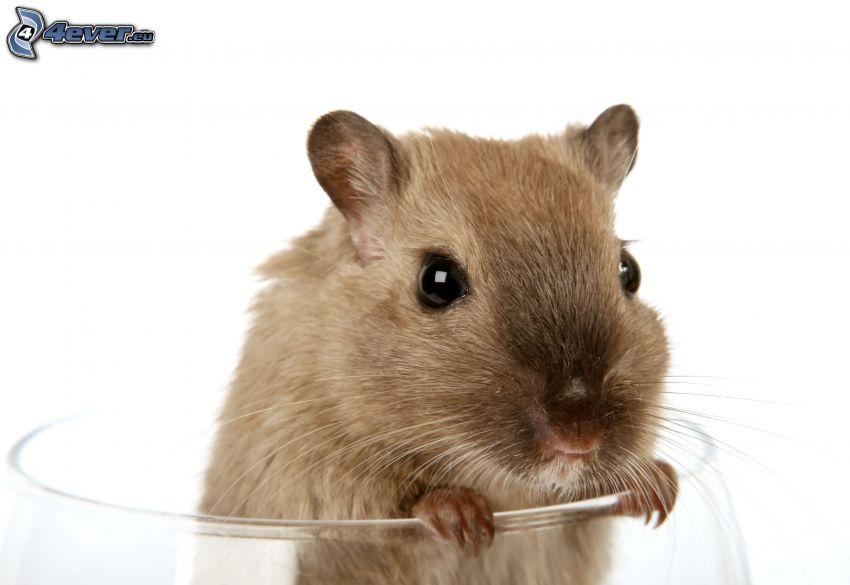 Ratte, Tasse