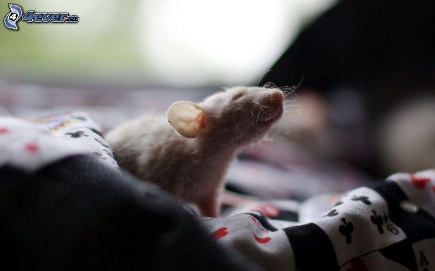 Ratte