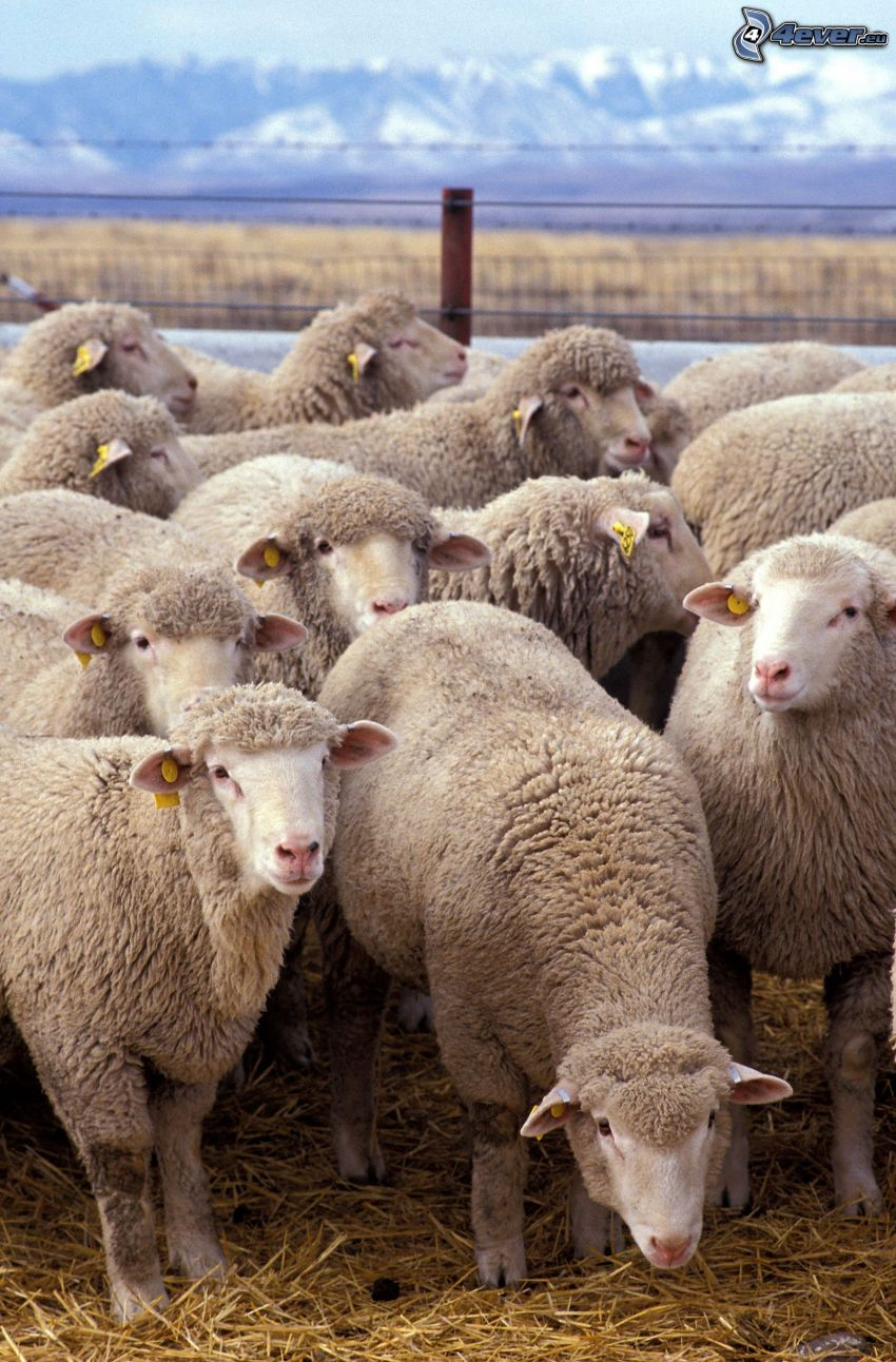 Schafe, Heu, Zaun