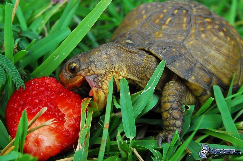 Schildkröte, Erdbeere, Gras